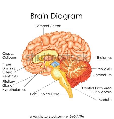 Brain diagram cortex wiring diagram for light switch medical education chart biology human brain stock vector 645657796 rh shutterstock com brain diagram primary visual cortex brain diagram motor cortex ccuart Gallery