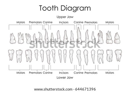 Medical education chart biology human teeth stock vector 644671396 medical education chart of biology for human teeth diagram vector illustration ccuart Choice Image