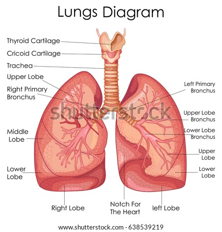 Medical education chart biology lungs diagram stock vector royalty medical education chart of biology for lungs diagram vector illustration ccuart Choice Image