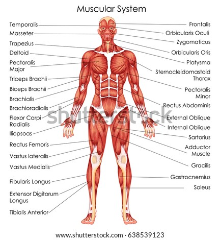 medical education chart biology muscular system stock vector, Muscles