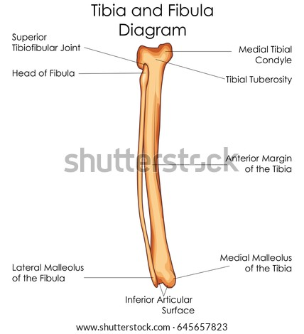 fibula stock images royaltyfree images amp vectors