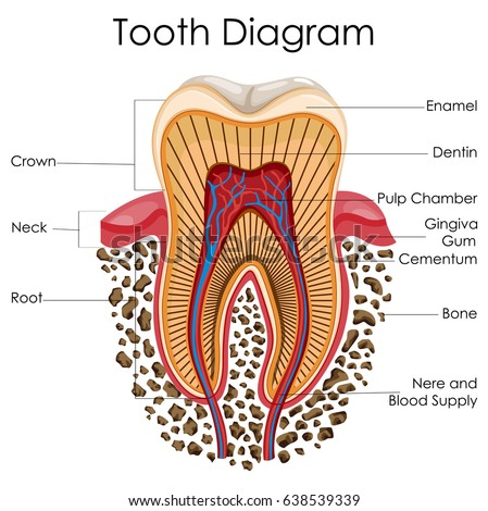 Medical Education Chart Biology Tooth Anatomy Stock Vector Hd