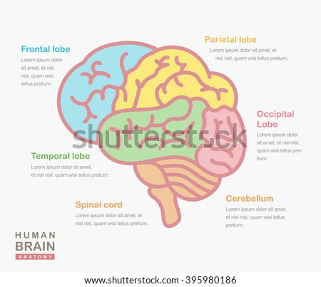 Medical illustration showing structure human brain stock vector hd medical illustration showing the structure of the human brain vector human brain side view ccuart Choice Image