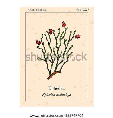 ephedrine the herb 50 e sinica seeds item :freshephedra sinica or ma huang the scarce leaves  grow on slender cylindrical, yellow-green branches ma huang flowers in august .