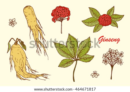 Medicinal plants Set. Root, Leaves, Berries and Flowers Panax Ginseng. Alternative medicine. Biological additives. Traditional herbal therapy. Vector illustration