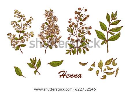 Medicinal Plants Vector Set Henna Lawsonia Stock Vector ...
