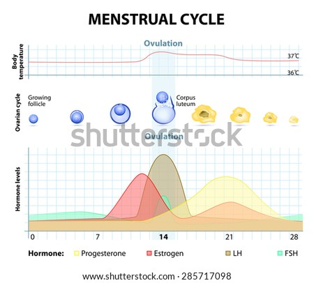 Menstrual cycle. increase and decrease of the hormones. The graph also depicts the growth of the follicle - stock vector