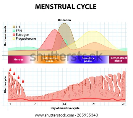 Menstrual cycle. Menstruation, Follicle phase, Ovulation and Corpus luteum phase. endometrium and hormone - stock vector