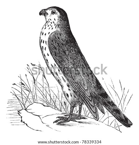 Merlin or Pigeon Hawk or Falco columbarius, vintage engraving. Old engraved illustration of Merlin or Pigeon Hawk. Trousset Encyclopedia