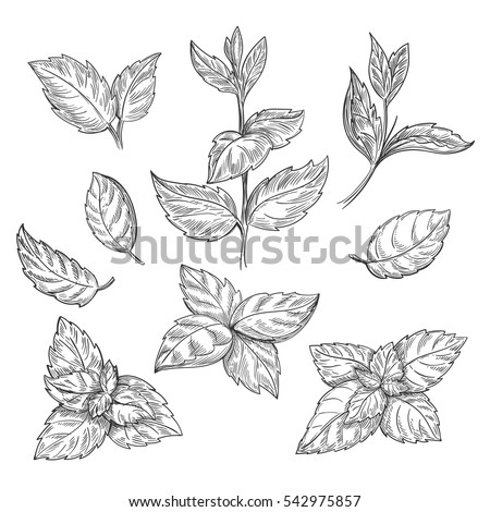 Spearmint Stock Images, Royalty-Free Images & Vectors ...
