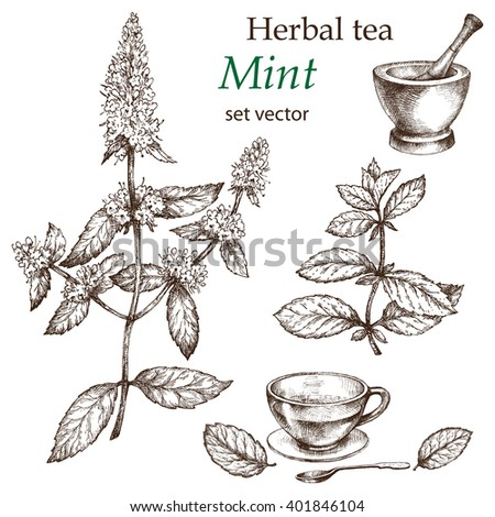 Mint  plant, botanical drawing. Herbal tea  set. Hand drawn.  Medicinal plant. - stock vector