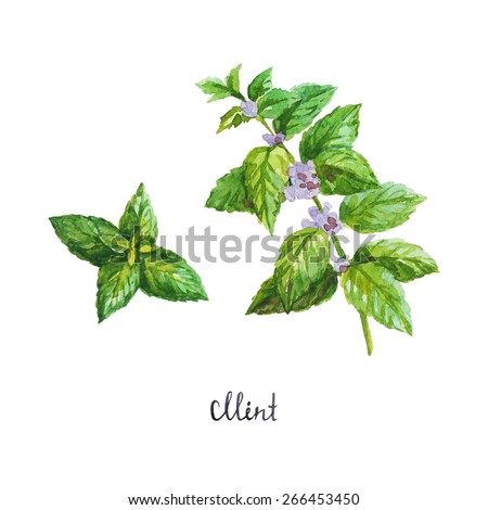 mint. watercolor illustration - stock vector