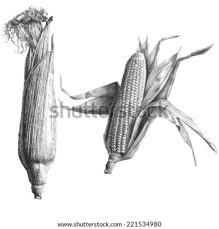 Monochrome illustration with corn on a light background - stock vector