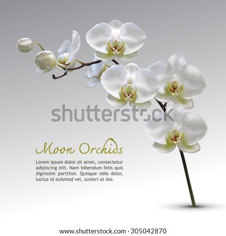 Moon Orchid Flower Vector on gray gradient background with text. Moon Orchid. Vector Orchid Illustration.