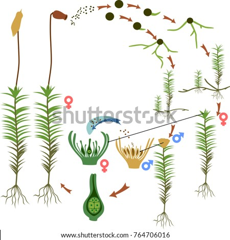 Moss Life Cycle Diagram Life Cycle Stock Vector 764706016 Shutterstock