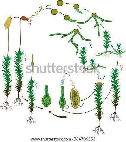 Moss Life Cycle Diagram Life Cycle Stock Vector 2018 764706553