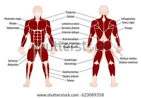 muscle chart stock images, royalty-free images & vectors, Cephalic Vein