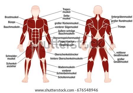 Muscle Chart German Description Most Important Stock-Vektorgrafik ...