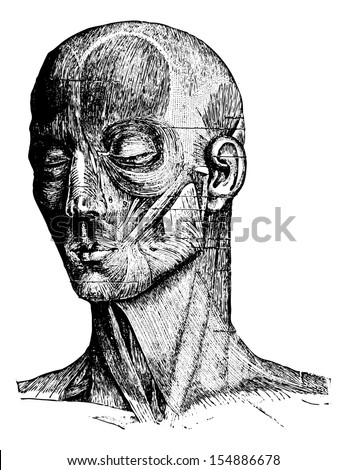 Muscles of the Human Face and Cheek, vintage engraved illustration. Usual Medicine Dictionary by Dr Labarthe - 1885 - stock vector