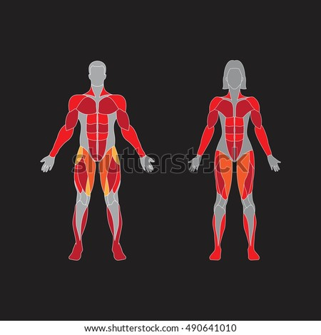 Muscular system on a black  background. Human muscles guide. Front view.