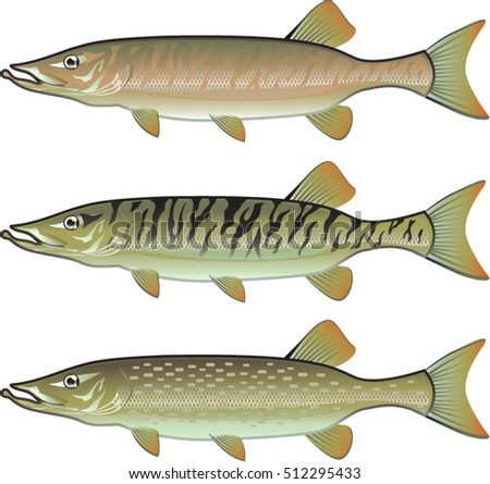 Muskellunge stock images royalty free images vectors for Muskie fish pictures