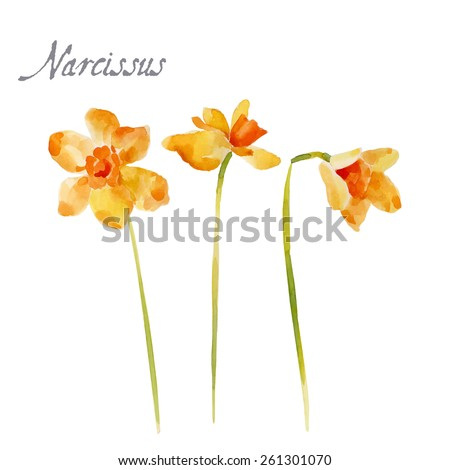 Narcissus flower, watercolor illustration isolated on white background - stock vector
