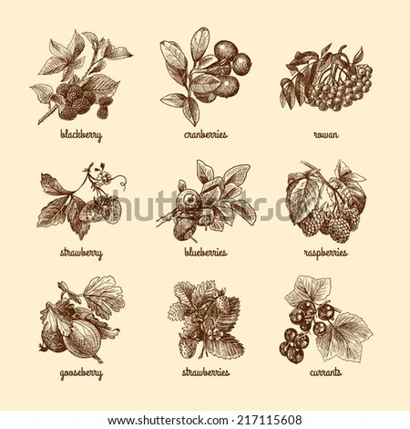 Natural organic berries set of strawberry blackberry cranberry sketch isolated vector illustration - stock vector