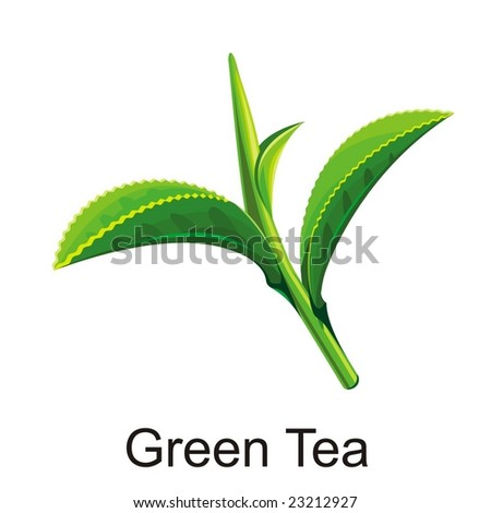 Natural Vector green tea leaf illustration isolated object