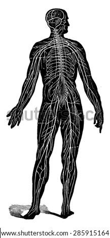Nervous system of man, seen as a whole, vintage engraved illustration. La Vie dans la nature, 1890. - stock vector