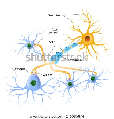 neurotransmitter release mechanisms. Neurotransmitters are packaged into synaptic vesicles transmit signals from a neuron to a target cell across a synapse. - stock vector