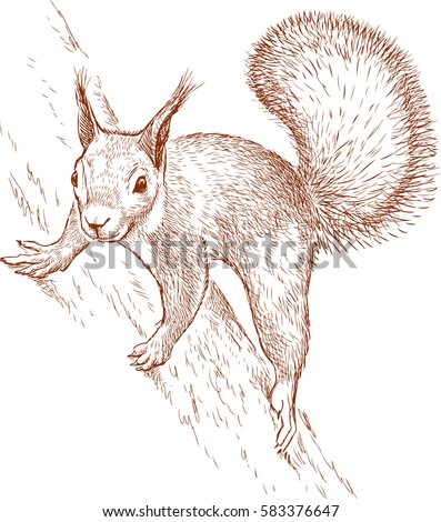 Squirrel Drawing Stock Images Royalty Free Images Vectors