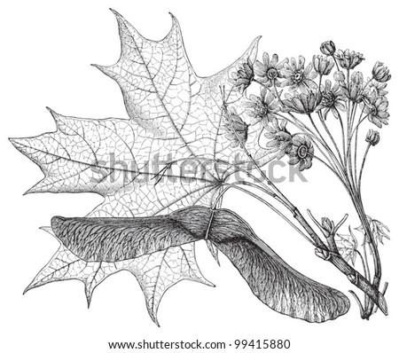 Norway Maple (Acer platanoides) / vintage illustration from Meyers Konversations-Lexikon 1897