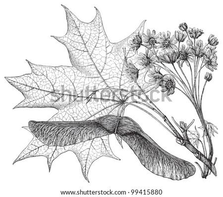Norway Maple (Acer platanoides) / vintage illustration from Meyers Konversations-Lexikon 1897 - stock vector