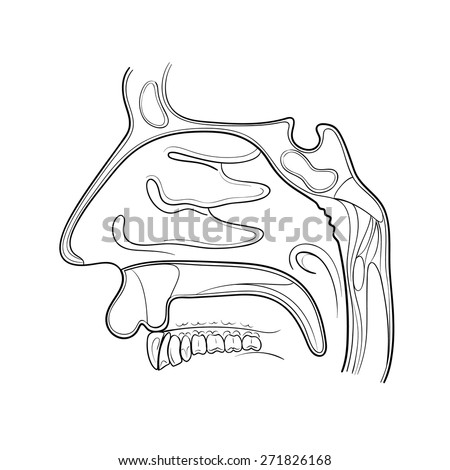 nose anatomy outline vector illustration - stock vector
