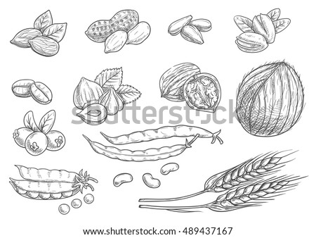 Nuts, grain, berries sketches  on white background. Isolated vector coconut, almond, pistachio, sunflower seeds, peanut, hazelnut, walnut, coffee beans, wheat ears, coffee beans, pea pod, berries