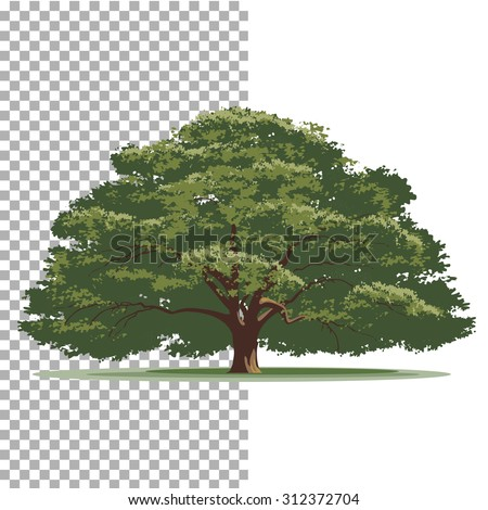 Oak tree. Isolated vector tree on white background. - stock vector