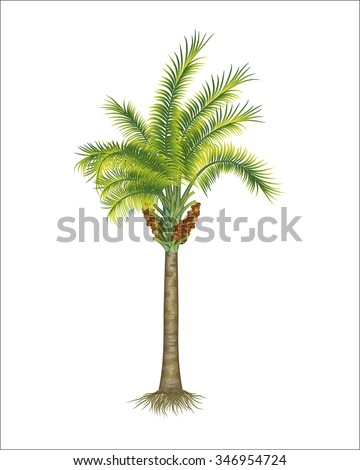 oil palm tree vector illustration isolated on white - stock vector