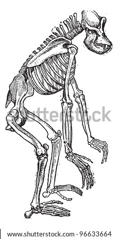 Old engraved illustration of Skeleton of Gorilla isolated on a white background. Dictionary of words and things - Larive and Fleury - 1895
