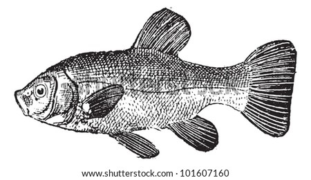 Old engraved illustration of Tench or Tinca tinca or doctor fish or carp, isolated on a white background. Dictionary of words and things - Larive and Fleury - 1895 - stock vector