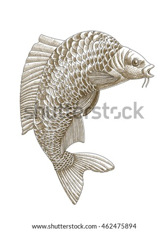 Old style engraving carp fish in jump. Concept of eastern koi fish symbol of wealth. Highly detailed hand drawn vintage carp in jump. Vector illustration
