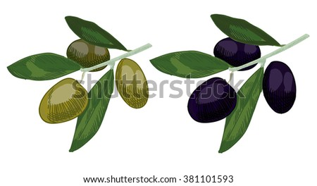 Olive colored sketch. Hand drawn watercolor olive branch. VECTOR illustrations of green and black olives isolated on white