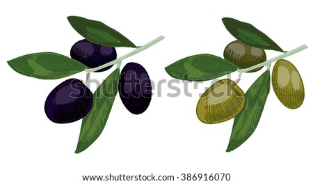 Olive colored sketch. Hand drawn watercolor olive branch. VECTOR illustrations of green and black olives