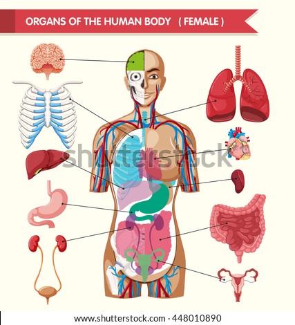 Organs of the human body illustration - stock vector