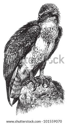 Osprey or sea hawk (Pandion haliaetus) / vintage illustration from Brockhaus Konversations Lexikon 1908 - stock vector