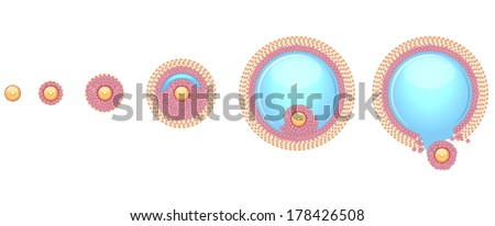 Ovulation process step by step. Ovum is released from the ovarian follicles. - stock vector