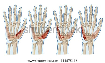 Palm Human Muscle Anatomy Abductor Flexor Stock Vector (Royalty Free ...