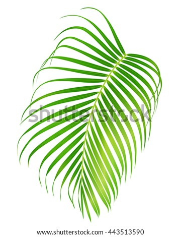 Palm leaf isolated on white background. Vector foliage of tropical tree (useful at any brochure, booklet, leaflet, invitation, holiday and vacation ad) - stock vector