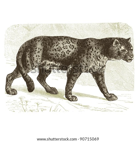 "Panther - vintage engraved illustration - ""Cent récits d'histoire naturelle"" by C.Delon published in 1889 France - stock vector"