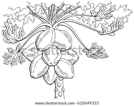 Papaya Fruit Tree Graphic Black White Isolated Sketch Illustration Vector