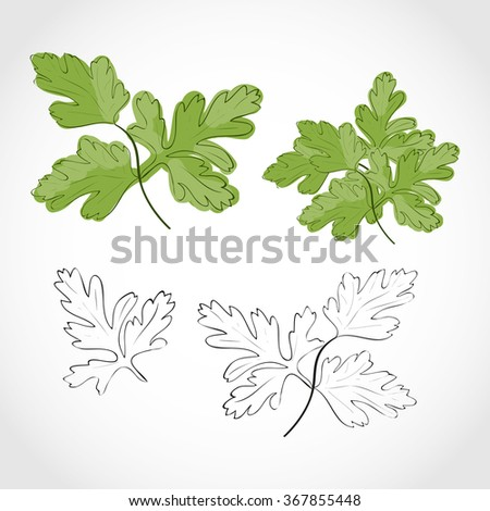 Parsley. Set. Black-and-white images and color images. Sketch. - stock vector